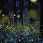 Потрясающие фотографии светлячков в Японии