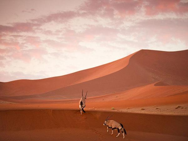 Oryx, Namibia