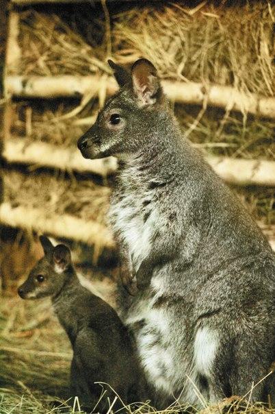 кенгуру Беннета