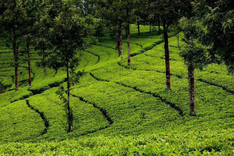чайные плантации Индия