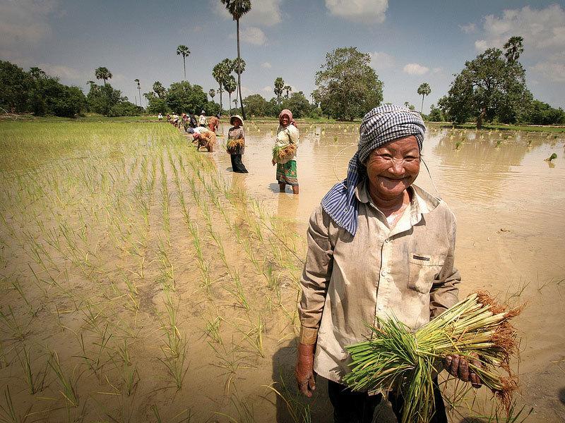Женщины на рисовых полях Камбоджи