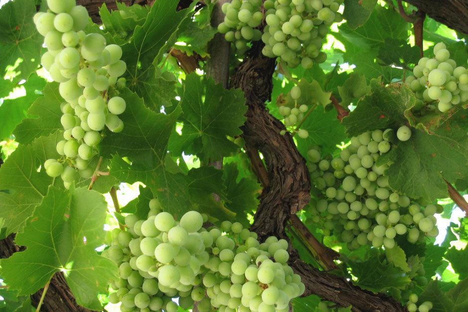 зеленый виноград греция