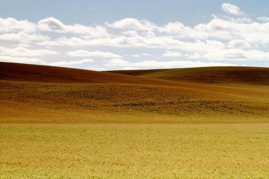 фермерские поля с пшеницей