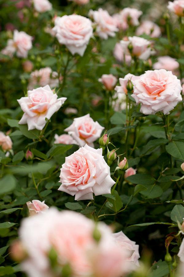 Кустовая роза сорт Тишина