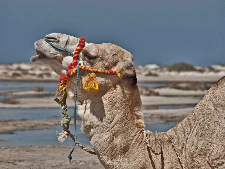 верблюд, Тунис