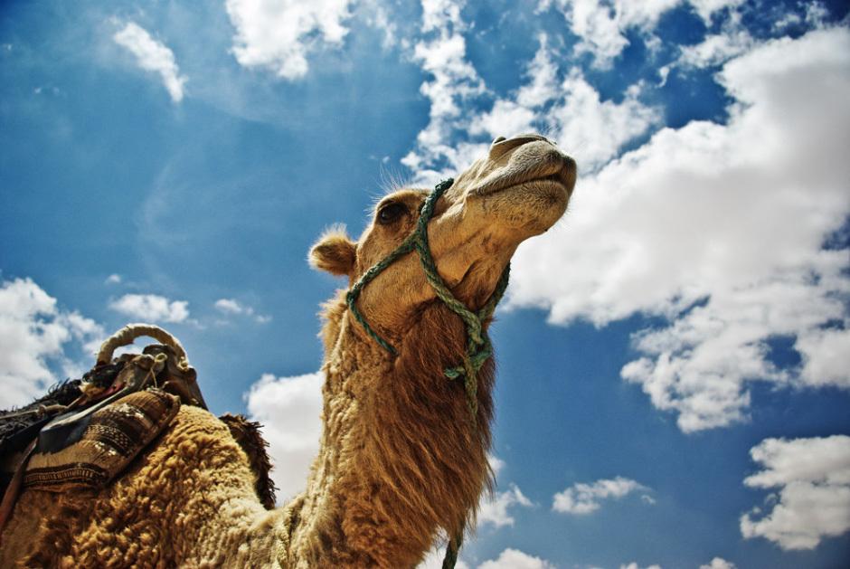 верблюд с острова Джерба