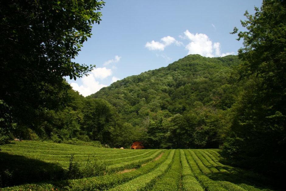 чайные плантации в Дагомысе