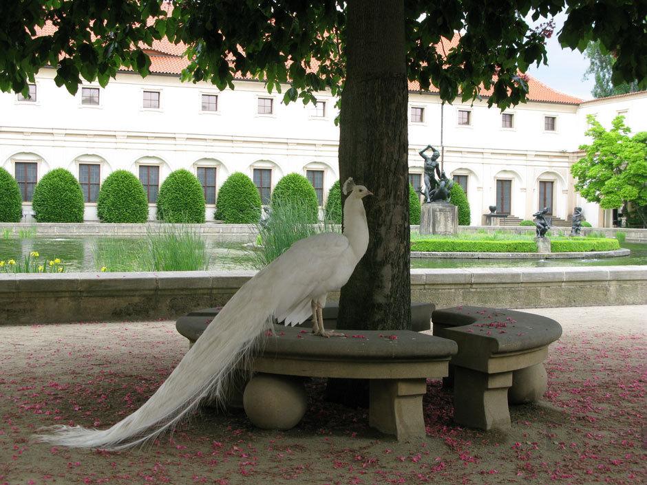 Павлин под деревом