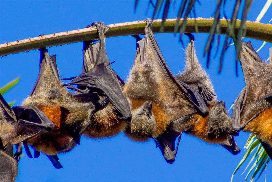 Сероголовые летающие лисицы