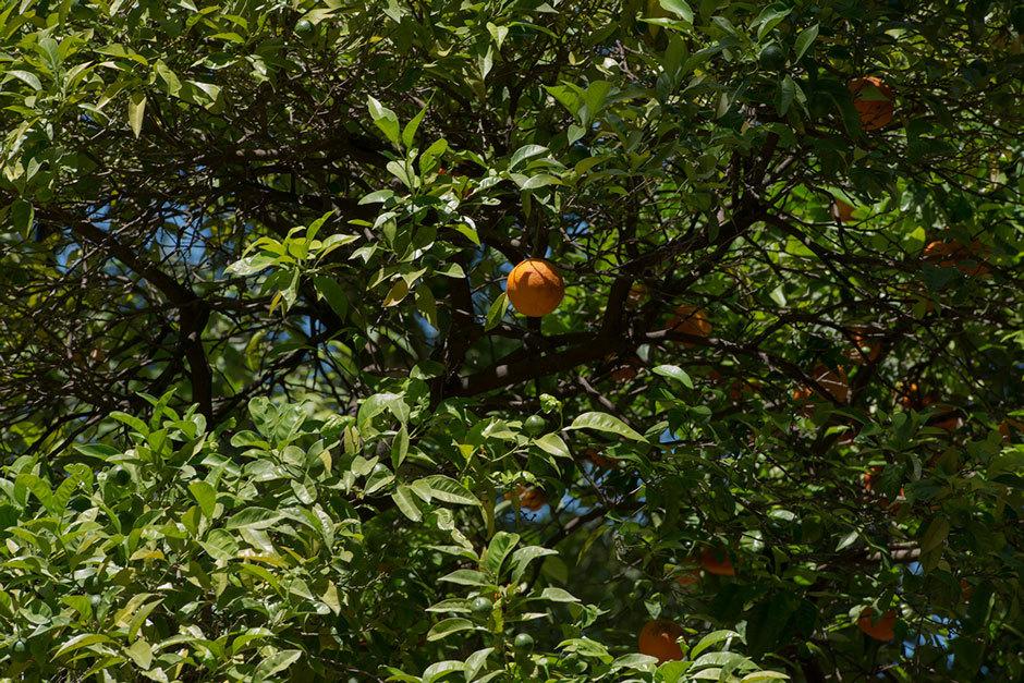 апельсины на проспекте свободы в Лиссабоне (2)