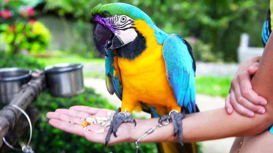 большие попугаи, Самуи (3)