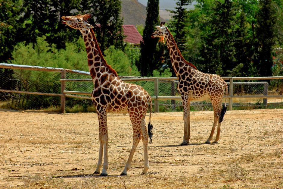 жирафы (2)