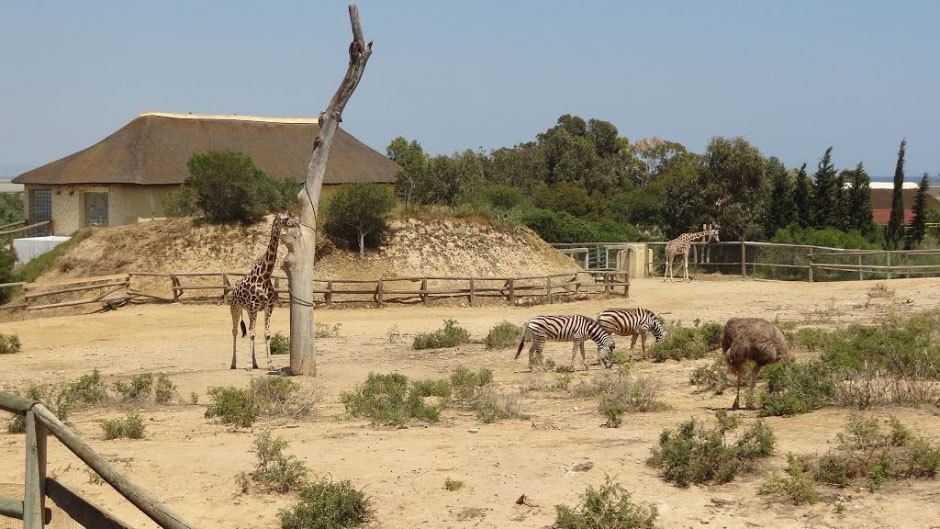 жирафы (3)