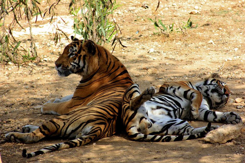 маленькие тигры с родителями