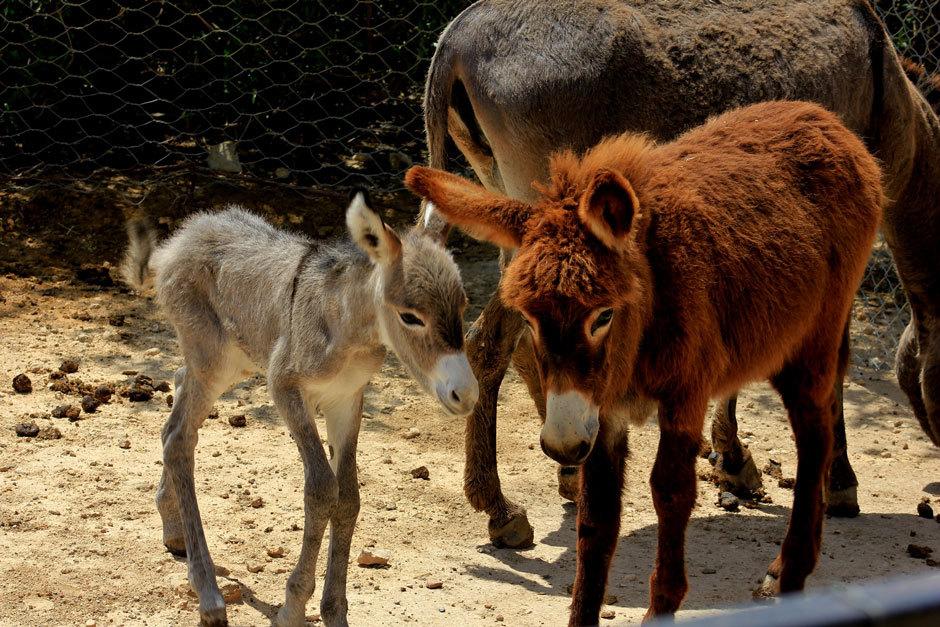 ослики в тунисском зоопарке