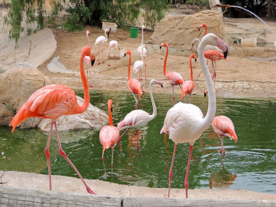 розовые фламинго (1)