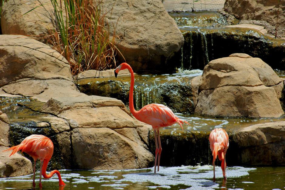 розовые фламинго (2)