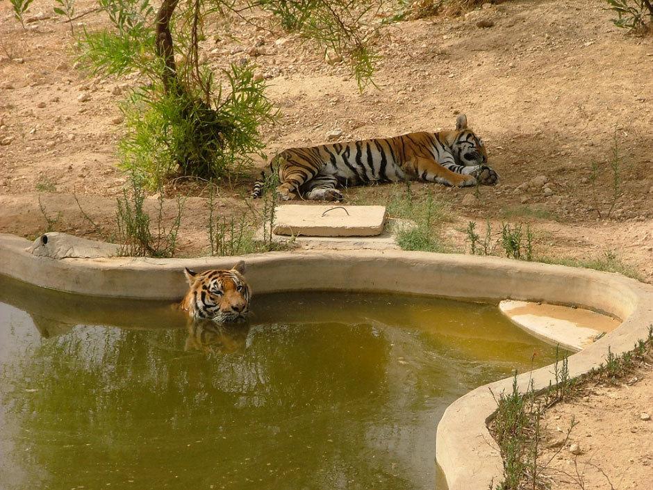 тигры в Тунисе