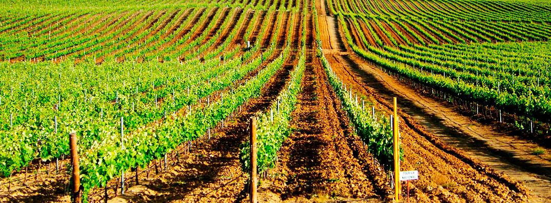 bairrada виноградники