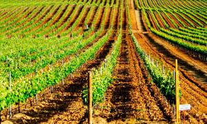 bairrada vinogradniki