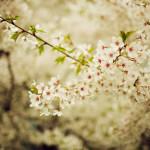 Когда цветет сакура, или роскошный вишневый сад на твоем рабочем столе