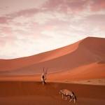 Исчезающий вид антилоп Oryx в Намибии